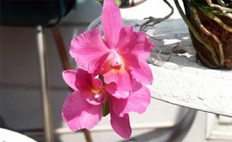 Sophronitis rosea