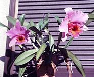 Cattleya luedddmaniana