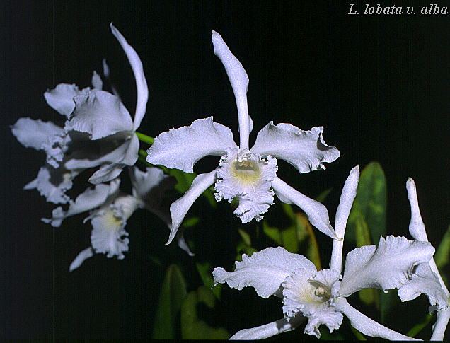 Cattleya Photo Library